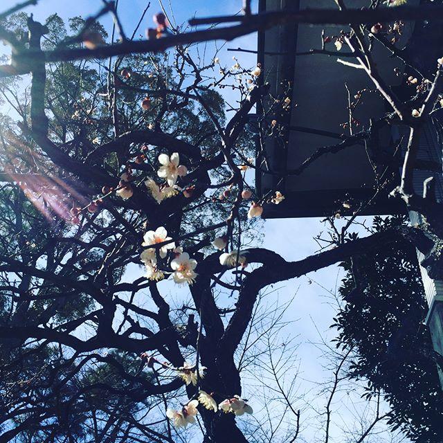 #乗泉寺 #梅梅の花が咲き始めました。寒さに負けず、お参詣に気張りましょう。